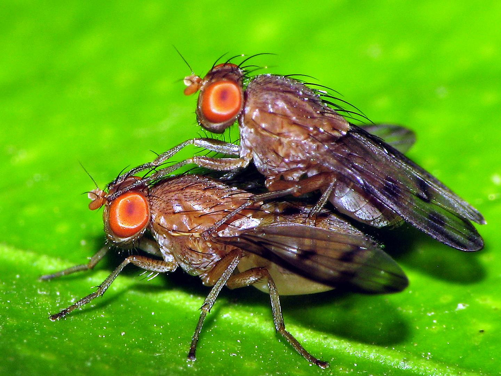Drosophila mating