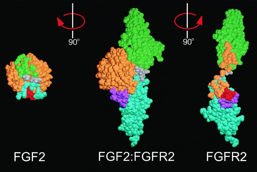 Growth Factors fit perfectly into Growth Factor Receptor Binding Sites. Two different types of Fibroblast Growth Factor (FGF1 and FGF2, left) shown bound to its specific receptor (center) and separate (right). Image credit: Alexander Plotnikov.