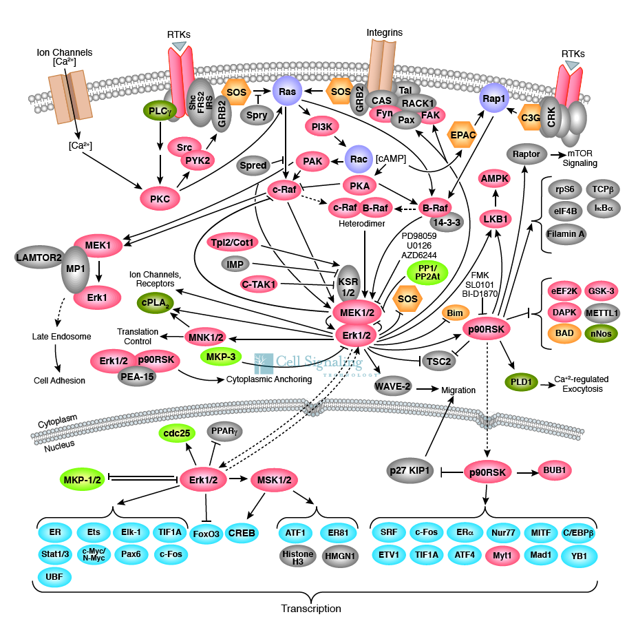 A truly complex web of cell communication! These are some of the proteins we know that are involved in a single pathway known as the MAPK/Erk pathway. Signals from the outside of the cell go through this web of signaling, ultimately ending up with the activation of genes involved in growth, specialization and survival of the cell. Image credit: Cell Signaling Technology.