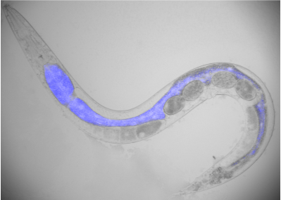 Typical fluorescence increase in young adult worm killed by a hot pick