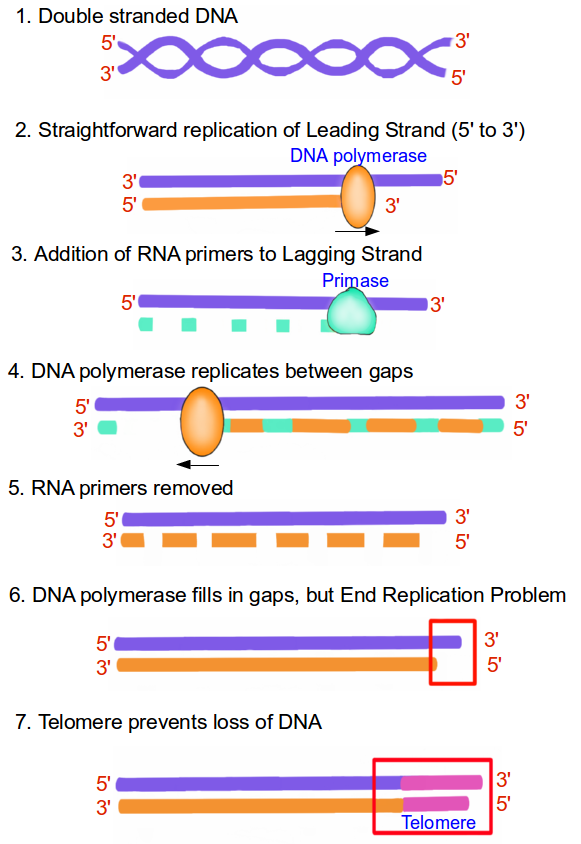 End replication problem