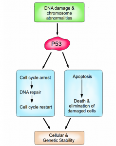 The functions of p53