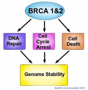 BRCA functions