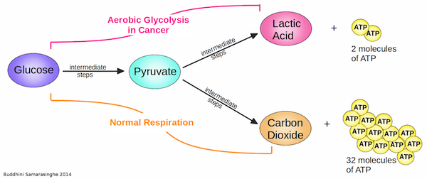 In cancer cells undergoing aerobic glycolysis (pink pathway), glucose gets broken down into pyruvate and then lactic acid, producing only two molecules of ATP. In cells undergoing normal respiration (orange pathway), glucose gets completely broken down into pyruvate, which is further processed into carbon dioxide, producing 32 molecules of ATP. (Image credit: Buddhini Samarasinghe)