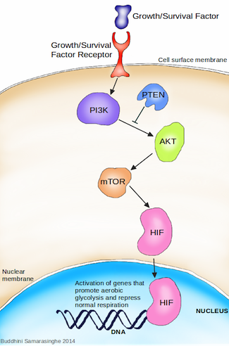 Switching metabolism in cancer. Growth or survival factor signaling activates the PI3K signaling pathway. Activated PI3K activates AKT, which then activates mTOR, which then activates HIF. HIF moves into the nucleus of the cell and activates genes that promote aerobic glycolysis while repressing normal metabolism. Activated PI3K can be attenuated by tumour suppressor protein PTEN. (Image credit: Buddhini Samarasinghe)