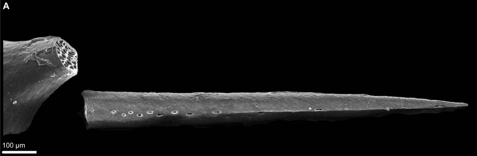 Scanning electron micrograph of the love dart of Everettia corrugata